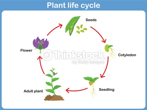 A Diagram Of Plant Life Cycle For 2nd Grade Enthusiast Wiring