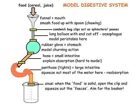 Digestive System Tour Lab