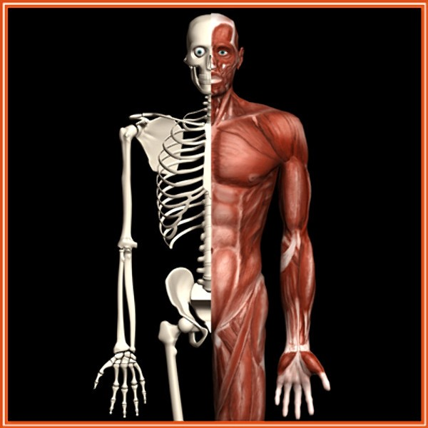 human skeleton with muscles, Skeleton
