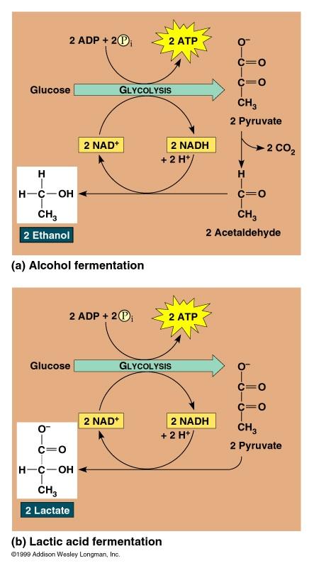 Rachel Tucker WebQuest - Lactic Acid vs. Fermentation ...