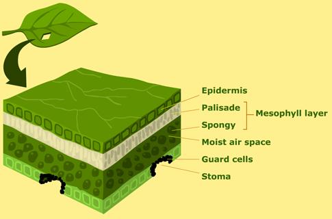 structure of a leaf greenleaf create webquest